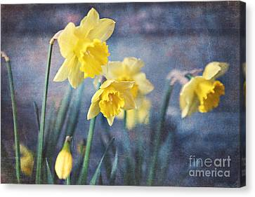 Canvas Print featuring the photograph Daffodils by Sylvia Cook