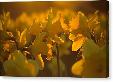 Daffs At Sunset Canvas Print by Chris Fletcher