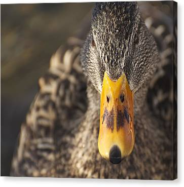 Daffy Canvas Print by Julie Smith