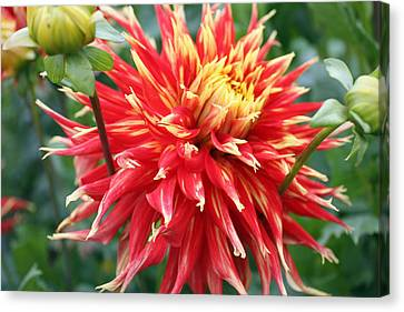 Canvas Print featuring the photograph Dahlia 1 by Gerry Bates