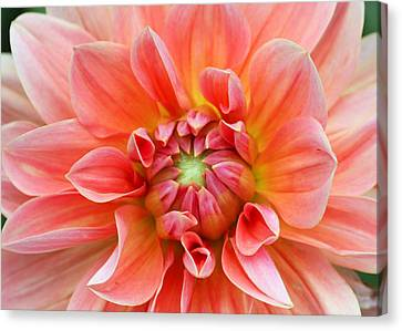 Canvas Print featuring the photograph Dahlia 2 by Gerry Bates