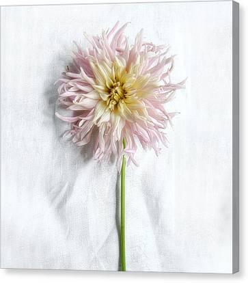 Dahlia #2 Canvas Print