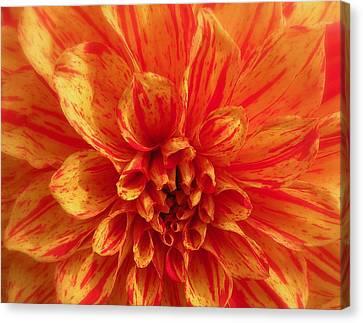 Dahlia  Canvas Print by Brian Chase