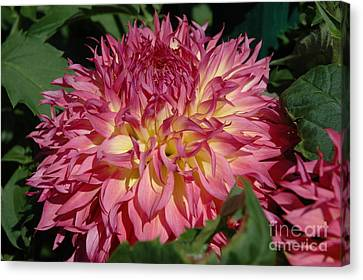 Canvas Print featuring the photograph Dahlia by Christiane Hellner-OBrien