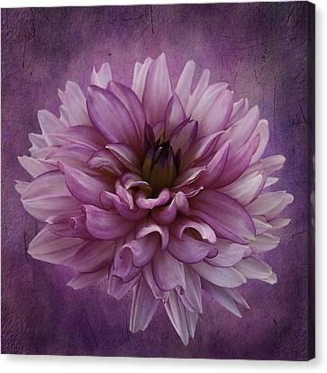 Dahlia Canvas Print by Cyndy Doty