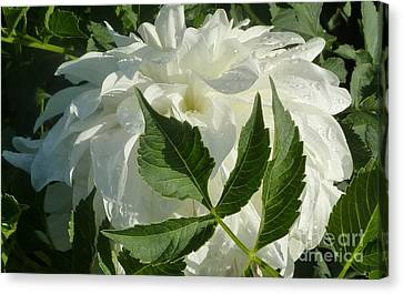 Canvas Print featuring the photograph Dahlia Delicate Dancer by Susan Garren