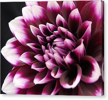 Dahlia Delightful Canvas Print by Kathi Mirto