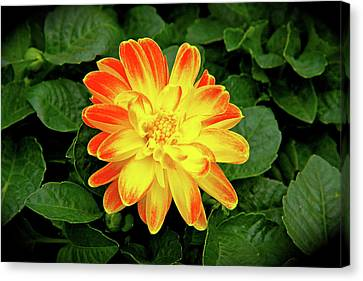 Dahlia Canvas Print by Ed  Riche