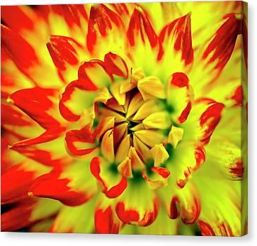 Dahlia Flower Canvas Print by Ian Gowland