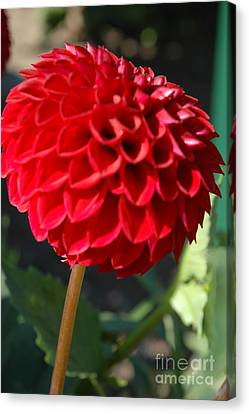 Canvas Print featuring the photograph Dahlia IIi by Christiane Hellner-OBrien