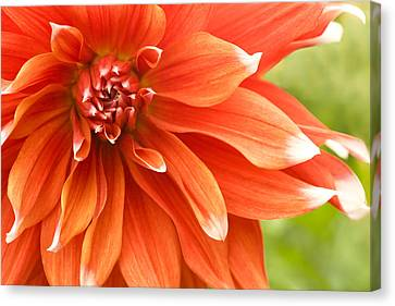 Dahlia IIi - Orange Canvas Print by Natalie Kinnear