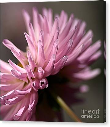 Canvas Print featuring the photograph Dahlia by Joy Watson