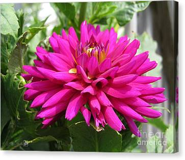 Canvas Print featuring the photograph Dahlia Named Andreas Dahl by J McCombie