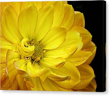 Canvas Print featuring the photograph Dahlia Pedals by Gary Neiss