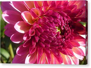 Canvas Print featuring the photograph Dahlia Pink 1 by Susan Garren