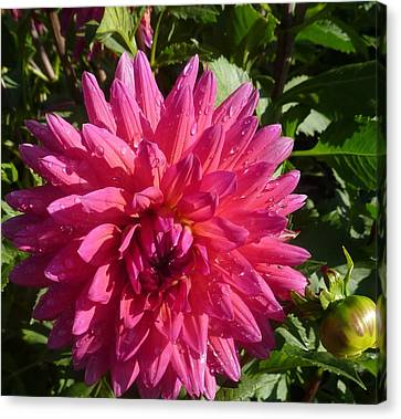 Canvas Print featuring the photograph Dahlia Pink by Susan Garren