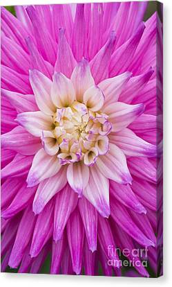 Dahlia Ruskin Andrea Flower Canvas Print by Tim Gainey