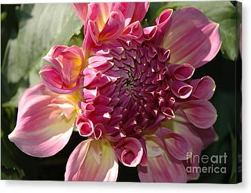 Canvas Print featuring the photograph Dahlia V by Christiane Hellner-OBrien