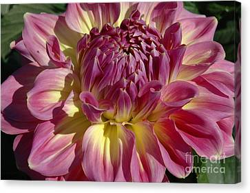 Canvas Print featuring the photograph Dahlia Vii by Christiane Hellner-OBrien