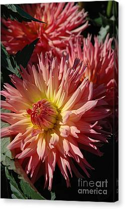 Canvas Print featuring the photograph Dahlia Viii by Christiane Hellner-OBrien
