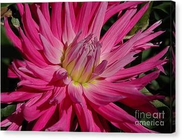 Canvas Print featuring the photograph Dahlia X by Christiane Hellner-OBrien