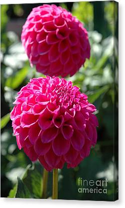 Canvas Print featuring the photograph Dahlia Xi by Christiane Hellner-OBrien