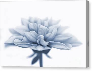 Dahlietta Amy Cyanotype Canvas Print by John Edwards