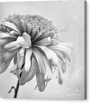 Dainty Daisy Canvas Print