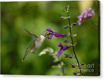 Dainty Sipper Canvas Print by Tim Good