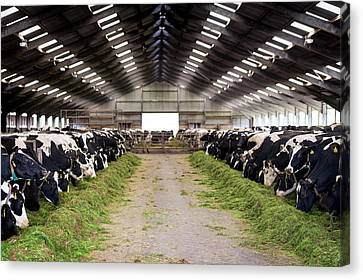 One Point Perspective Canvas Print - Dairy Cows by Aberration Films Ltd