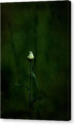Daisey Canvas Print