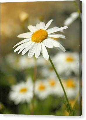 Daisies ... Again - Original Canvas Print