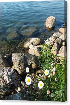 Daisies By The River Canvas Print by Margaret McDermott