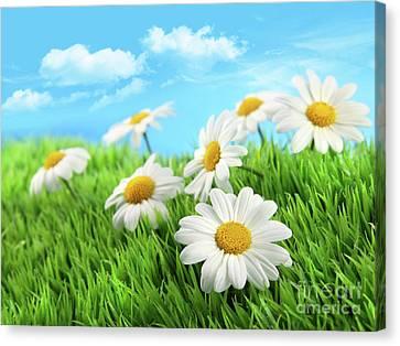 Daisies In Grass Against A Blue Sky Canvas Print by Sandra Cunningham