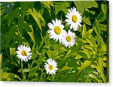 Daisies In Provincetown Canvas Print by Tom Doud