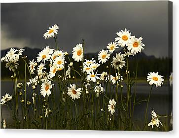 Daisies In Storm Light Canvas Print