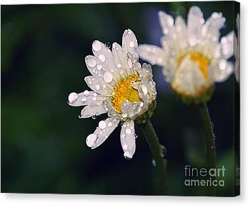 Daisies In The Rain Canvas Print