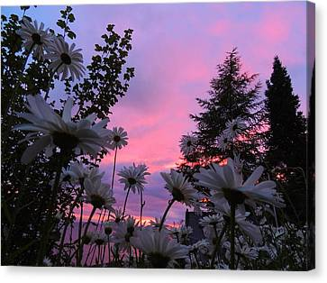 Daisies Kissing Dusk Canvas Print