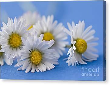 Daisies On Blue Canvas Print by Jan Bickerton