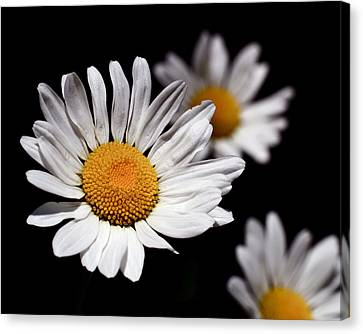 Daisies Canvas Print by Rona Black