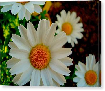 Canvas Print featuring the photograph Daisy 1 by Tamara Bettencourt