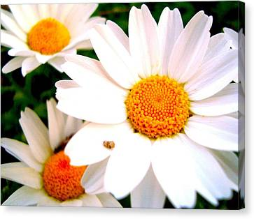 Canvas Print featuring the photograph Daisy 2 by Tamara Bettencourt