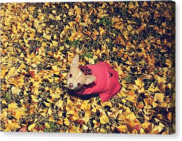Tiny Dogs Canvas Print - Daisy And A Blanket Of Gold by Laurie Search