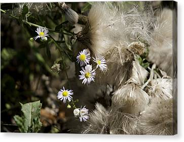 Daisy And Dandelion Canvas Print by John Holloway