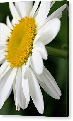 Daisy And Lil Bity Spider  Canvas Print by Susan  McMenamin
