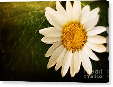 Daisy Background Canvas Print by Mythja  Photography
