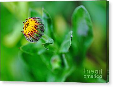 Daisy Bud Ready To Bloom Canvas Print by Kaye Menner