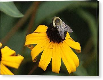 Daisy Bumble Bee Canvas Print by B Wayne Mullins