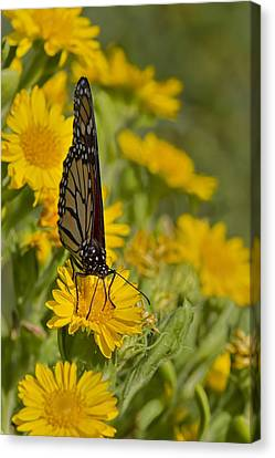 Canvas Print featuring the photograph Daisy Daisy Give Me Your Anther Do by Gary Holmes