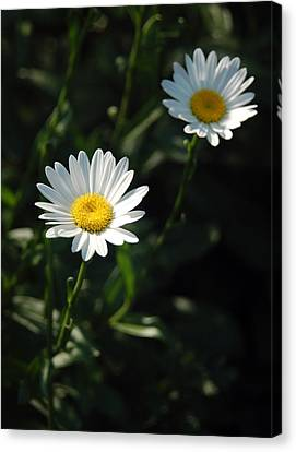 Daisy Days Canvas Print by Suzanne Gaff